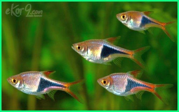 ikan hias kecil air tawar yang suka bergerombol
