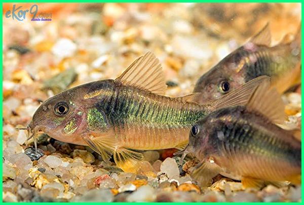kumpulan gambar ikan hias air tawar