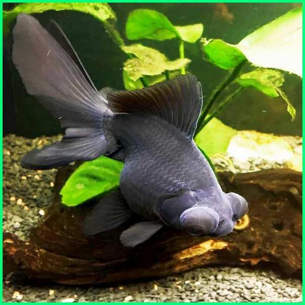 gambar ikan koki black moor dewasa, cara budidaya ikan black moor, harga ikan koki black moor
