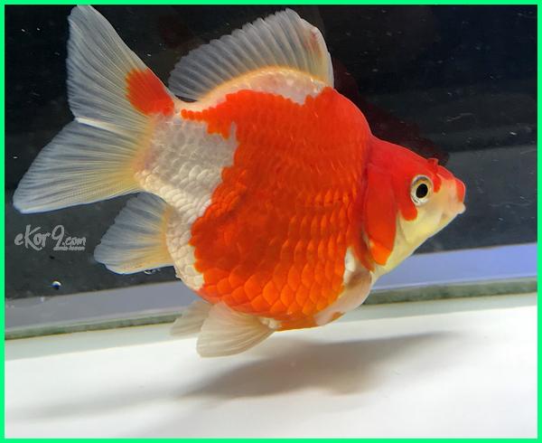 Ikan Mas Koki Tamasaba Dunia Fauna Hewan Binatang Tumbuhan Dunia Fauna Hewan Binatang Tumbuhan