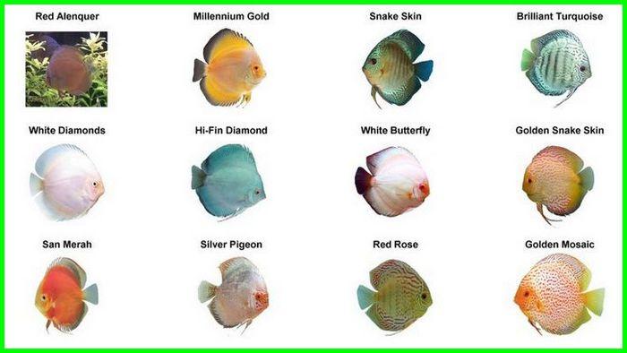 jenis ikan discus blue diamond, jenis ikan discus blue jenis ikan discus biru, jenis ikan discus beserta gambarnya, 5 jenis ikan discus, jenis warna ikan discus
