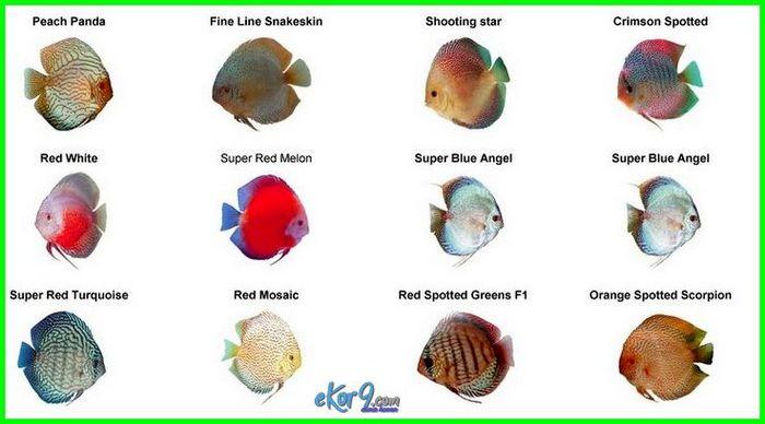 jenis akuarium ikan discus, ikan diskus adalah jenis ikan yang tidak tahan pada suhu, ada berapa jenis ikan discus, ikan diskus adalah jenis ikan, jenis ikan hias air tawar discus