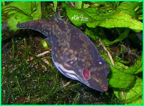 jenis jenis ikan hias air tawar Indonesia terlengkap