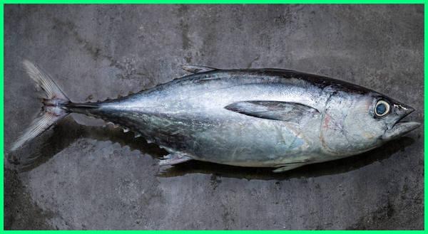 ikan laut tongkol