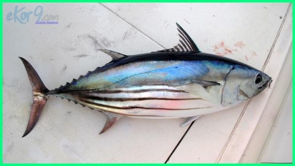 Skipjack Tuna/ Ikan Cakalang