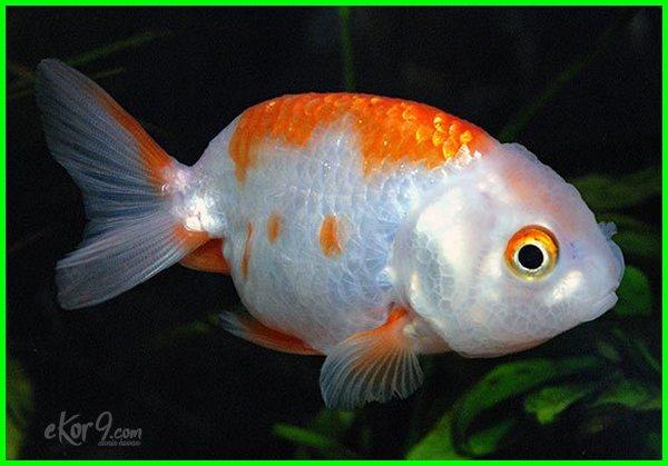 Ikan Mas Koki Ranchu Dunia Fauna Hewan Binatang Tumbuhan Dunia Fauna Hewan Binatang Tumbuhan
