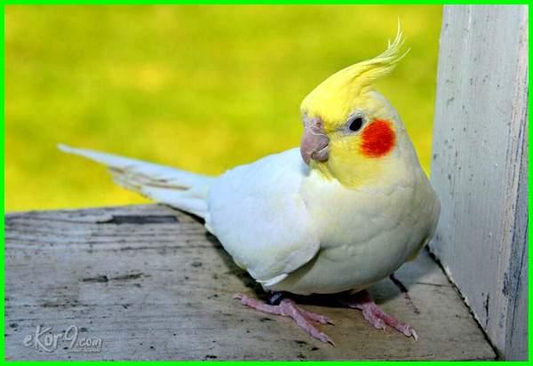 6 Jenis Warna Dasar Burung Falk Yang Paling Bagus Ekor9 Com Ekor9 Com