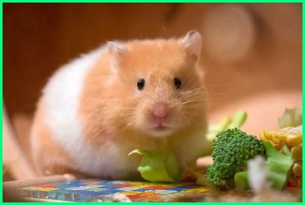 Makanan Hamster Hamster Makan Apa Dunia Fauna Hewan