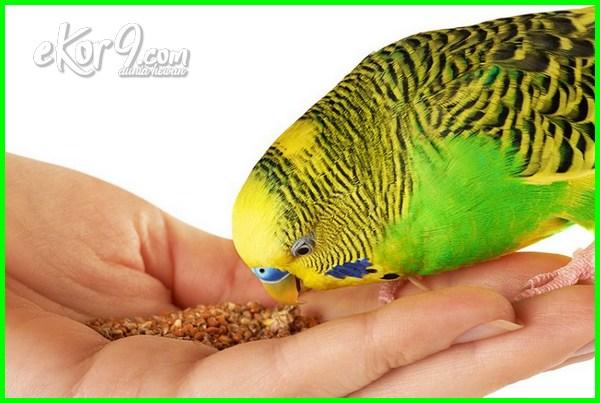 10 Jenis Makanan Yang Paling Disukai Burung Parkit Dunia Hewan