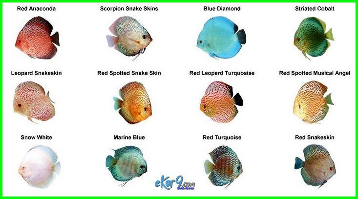 jenis ikan discus paling murah, jenis ikan discus termurah, jenis ikan discus beserta harganya, jenis ikan discus termahal