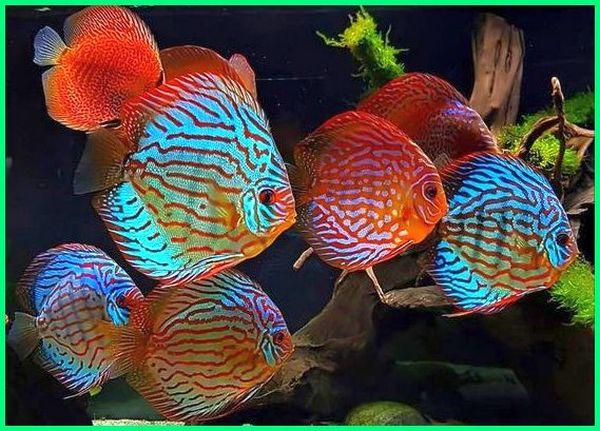 ikan discus gerombol