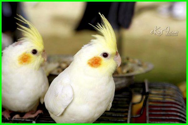7 Ciri Dan Cara Membedakan Burung Falk Jantan Dan Betina Dunia Fauna Hewan Binatang Tumbuhan Dunia Fauna Hewan Binatang Tumbuhan