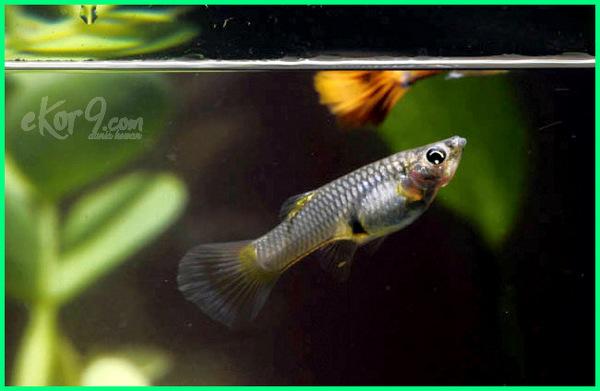 Ciri Ciri Ikan Guppy Hamil Persiapan Menyambut Anakan Dunia Fauna Hewan Binatang Tumbuhan Dunia Fauna Hewan Binatang Tumbuhan