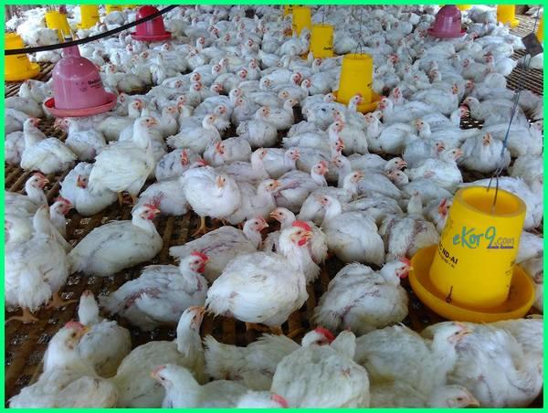 ayam broiler cepat besar kenapa rahasia obat makanan pakan penyebab membuat potong agar tips anak vitamin alami cara tumbuh biar bikin buat bisa merawat mengapa supaya untuk