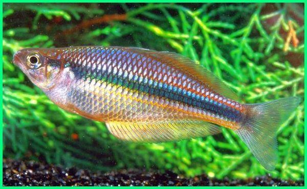 macam ikan hias air tawar indonesia