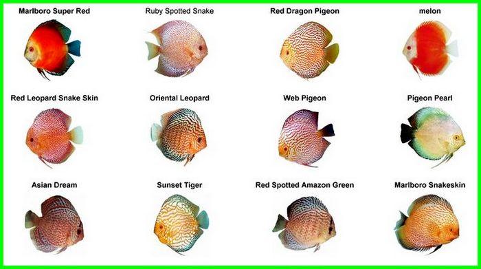 jenis ikan discus turquoise, jenis ikan discus warna merah, jenis ikan discus lengkap, jenis ikan discus dan harga jenis ikan discus paling mahal, jenis ikan discus red melon
