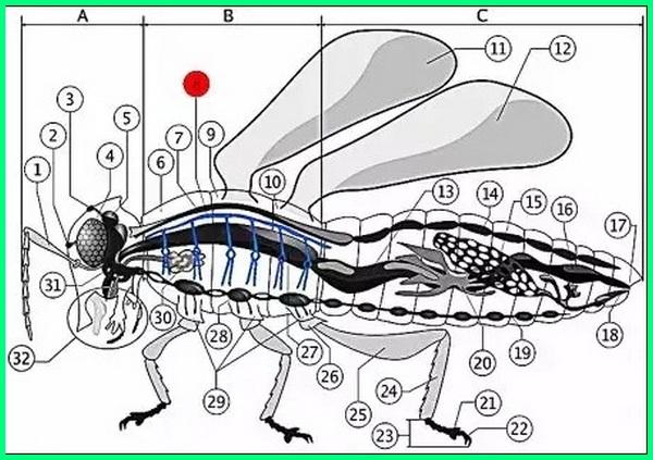 serangga bernapas dengan, serangga bernapas dengan menggunakan, serangga bernapas dengan trakea apa yang dimaksud dengan trakea, serangga bernapas menggunakan alat pernapasan yang dinamakan, serangga bernapas melalui organ yang disebut, serangga bernapas dengan sistem pembuluh, serangga bernafas menggunakan sistem pembuluh, serangga bernapas dengan menggunakan tabung udara yang disebut, serangga bernafas dengan brainly