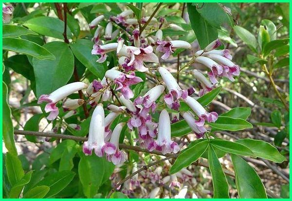 gambar flora australia