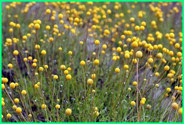 tanaman di australia, tanaman dari australia, tanaman asli australia