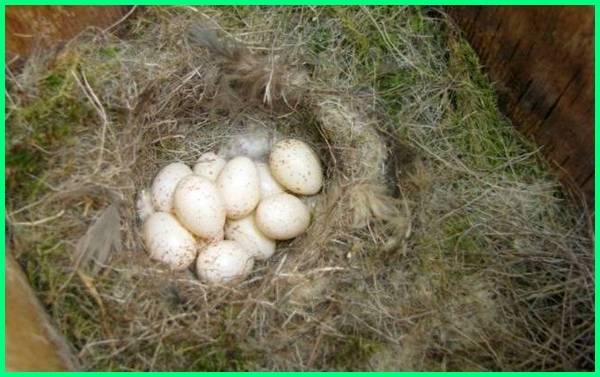 telur platipus, telur mamalia bertelur