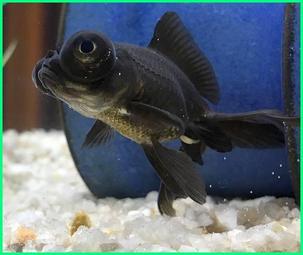 gambar ikan koki black moor, budidaya ikan koki black moor, tentang ikan koki black moor