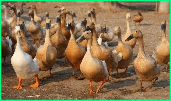 ternak bebek atau ayam, ternak bebek angsa, ternak bebek atau entok, peternak bebek cirebon, ternak bebek cepat panen, foto peternakan bebek, ternak bebek hibrida, ternak bebek intensif, ternak bebek itik