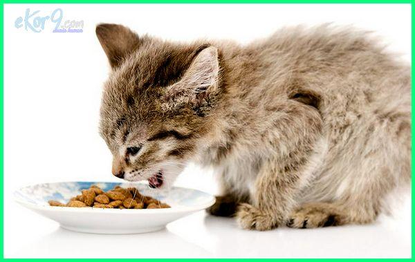 Anak Kucing Diberi Makan Umur Berapa Dunia Hewan Tumbuhan