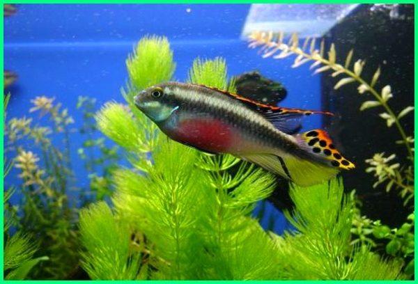 ikan hias kribensis