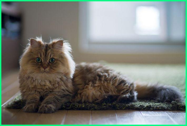 tentang kucing persia, tentang kucing persia flatnose, fakta tentang kucing persia, contoh descriptive text tentang kucing persia, deskripsi tentang kucing persia, teks eksposisi tentang kucing persia, fakta tentang kucing persia medium, apa saja perawatan kucing persia, apa saja kebutuhan kucing persia, apa itu kucing persia medium