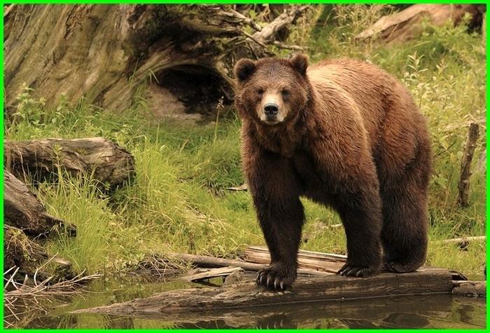 Tentang beruang, tentang beruang grizzly, tentang beruang coklat, artikel tentang beruang, informasi tentang beruang, info tentang beruang, report tentang beruang, pertanyaan tentang beruang, pertanyaan jawaban seputar beruang