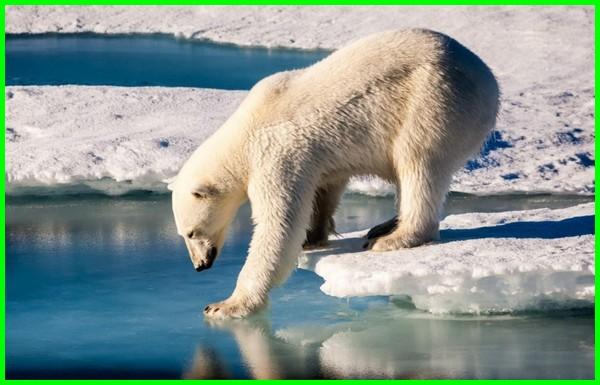 apa beruang hewan berdarah panas mamalia ekor memakan manusia karnivora madu langka vivipar bagaimana melakukan adaptasi ketika musim dingin, tiba beradaptasi menyesuaikan diri berkembang biak dengan lingkungannya dapat hidup ditempat yang bertahan, tempat berapa lama tidur kaki 4 jenis dunia berat dari mana asal berasal kah habitat polar, kenapa hanya ada utara berwarna putih hidupnya tidak makan penguin kedinginan suka dan gunung bulunya berbeda tak telinga mengapa rusia mengalami insomnia memiliki rambut tebal ditemui bersuhu sangat rendah jelaskan bulu tikus tanah pada saat salju berjalan diatas es tanpa terjatuh karena
