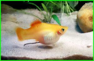 ciri ikan platy hamil, apakah ikan platy kanibal, apakah ikan platy, apa makanan ikan platy, apakah ikan platy memakan anaknya, berapa lama ikan platy mengandung, berapa lama ikan platy beranak, kenapa ikan platy mati