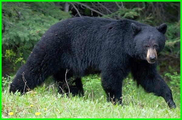 info tentang beruang, jurnal tentang beruang, report text tentang beruang, laporan tentang beruang, teks observasi tentang beruang, observasi tentang beruang, penjelasan tentang beruang, report tentang beruang
