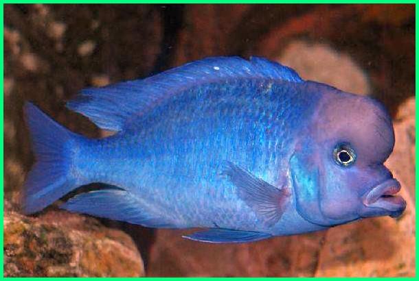 blue dolphin moorii, blue dolphin moorii for sale, blue dolphin cyrtocara moorii, moorii blue dolphin care, moorii blue dolphin fish, moorii blue dolphin max size, moorii blue dolphin size, moorii blue dolphin breeding
