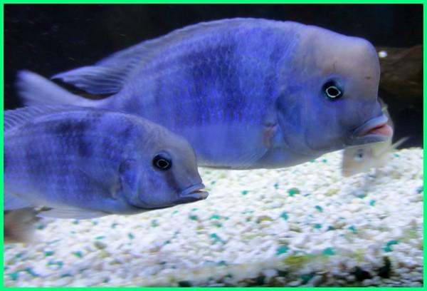 blue moorii cichlid, ludwigia sp, moorii blue dolphin breeding, blue dolphin moorii for sale, blue dolphin moorii fish, moorii blue dolphin fish, cyrtocara moorii blue dolphin for sale, hap moorii blue dolphin, blue dolphin moorii cichlid, blue dolphin cyrtocara moorii, moorii blue dolphin care, moorii blue dolphin max size, moorii blue dolphin size, blue dolphin moorii cyrtocara moorii, blue grass guppy black moscow