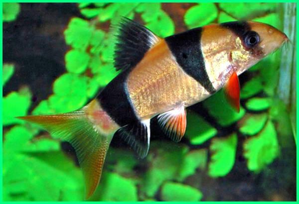 harga ikan botia, makanan ikan botia, ikan botia terbesar, karakter ikan botia, ikan botia india, jual ikan botia, ikan botia kalimantan, harga ikan botia kalimantan