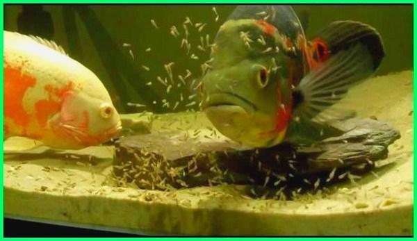 cara ikan oscar kawin, cara merawat ikan oscar anakan, cara hidup ikan oscar, cara pembudidayaan ikan oscar, cara pembibitan ikan oscar, cara ternak ikan oscar, cara merawat ikan oscar yang baik, cara memilih anakan ikan oscar yang bagus