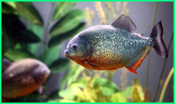 ikan piranha vs ikan bawal, ikan piranha ada di indonesia, ikan piranha ada dimana, ikan piranha aquarium, ikan piranha air tawar, ikan piranha adanya dimana, ikan piranha berasal dari, ikan piranha bisa dimakan, ikan piranha boleh dimakan
