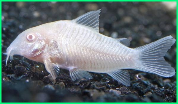 ikan hias cory, ikan corydoras putih