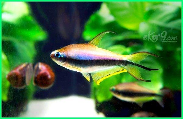 berbagai jenis ikan tetra
