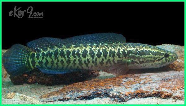 ikan darat terbesar, ikan darat di afrika, ikan hidup di darat, ikan darat adalah, ikan darat apa aja, ikan bisa hidup di darat, ikan bisa jalan di darat