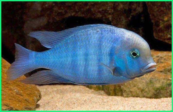 ikan biru, berwarna belang berduri cichlid hias garis biru hitam, louhan mujair siklid sisik warna