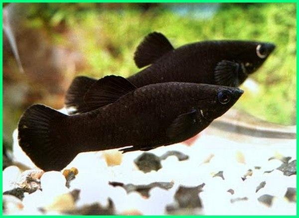 black molly, ikan molly balon merah marble pemakan alga hamil hitam jantan dan betina harga agresif ada berapa jenis anakan akan melahirkan aquarium bertelur beranak kawin cawang cepat mati cagak cendrawasih caroline molly.com cocok untuk aquascape cupang