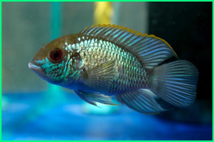 ikan acara, ikan blue acara, jual ikan blue acara, harga ikan blue acara, ikan akara, ikan hias akara, ikan blue akara, jenis ikan akara, pengertian ikan akara