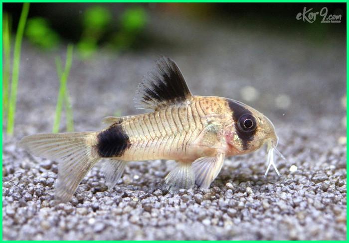 makanan ikan corydoras, ikan corydoras panda sterbai, ikan corydoras aquascape