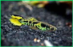 ikan guppy langka, ikan guppy cantik, ikan guppy yang paling bagus, ikan guppy yg bagus