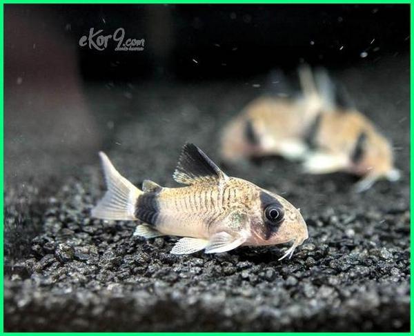 ikan corydoras, ikan hias corydoras yang bagus, ikan corydoras terbaik, ikan corydoras terbagus paling bagus, makanan ikan corydoras, ikan corydoras sterbai, ikan corydoras aquascape