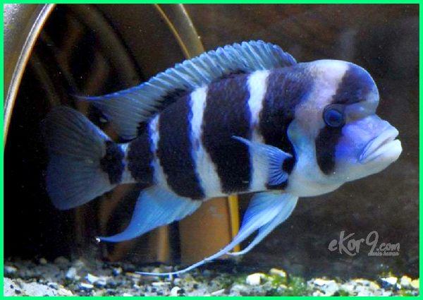 ikan frontosa, ikan frontosa burundi, gambar ikan frontosa, ikan hias frontosa, jenis ikan hias frontosa, klasifikasi ikan frontosa, karakter ikan frontosa, memelihara ikan frontosa, perawatan ikan frontosa