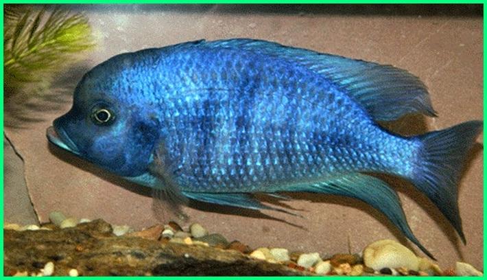 ikan biru, ikan berwarna biru, ikan belang biru, ikan berduri biru, ikan cichlid biru, ikan hias garis biru, ikan hias biru hitam, ikan louhan biru, ikan mujair biru, ikan siklid biru, ikan sisik biru, ikan warna biru, ikan louhan warna biru
