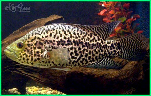 harga jaguar cichlid, makanan ikan jaguar cichlid, budidaya ikan jaguar cichlid, jual ikan jaguar cichlid, pakan ikan jaguar cichlid, harga ikan jaguar, ikan jaguar jantan, parachromis, ikan jaguar ikan jaguar cichlid, harga ikan jaguar cichlid, jual ikan jaguar cichlid